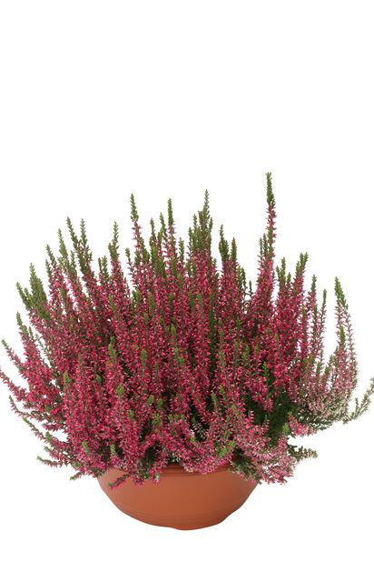 Høstlyng , Ø17 cm, Rød