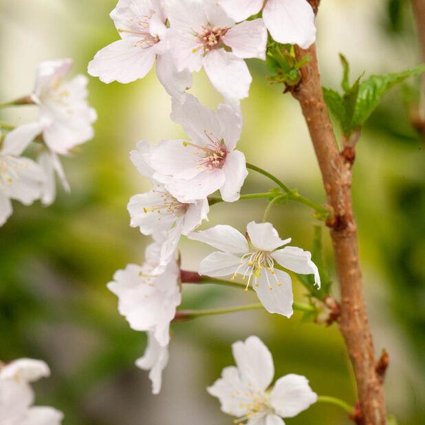 Nipponkirsebær 'Brilliant', Ø22 cm, Hvit