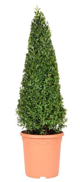 Europabuksbom pyramide, Ø21 cm, Grønn