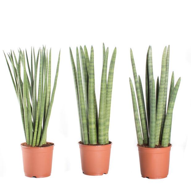 Bajonettplante, Høyde 30 cm, Grønn