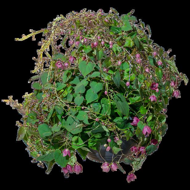 Rhodochiton h basket 25 cm