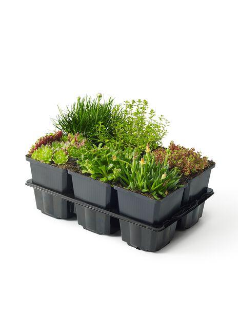 Stenbedplanter 6 pakk, 6 pk, Grønn