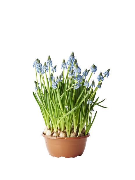 Perleblomst 'Big Smile', Ø17 cm, Blå