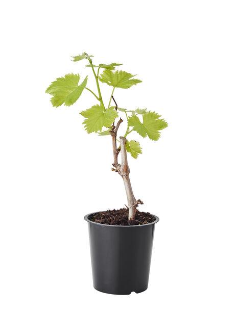 Vinranke 'Sukribe', Ø12 cm, Grønn