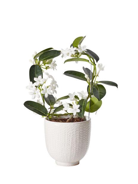 Duftranke  , Høyde 40 cm, Hvit