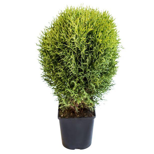 Tuja 'Little Giant', Ø15 cm, Grønn
