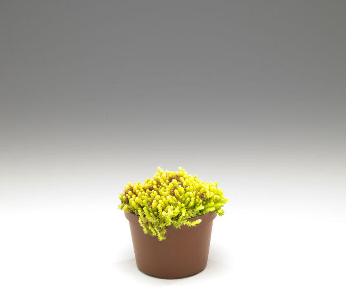 Bergknapp miks, Ø12 cm, Grønn