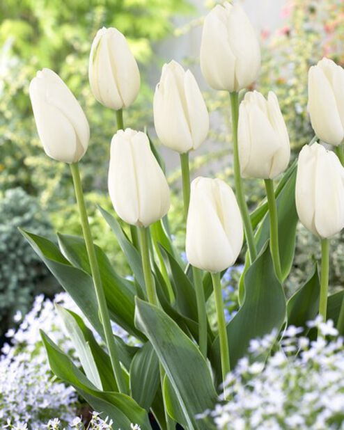Darwin hybrid tulipan 'Hakuun', Hvit