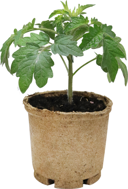 Tomat 'Romello', Ø12 cm, Rød