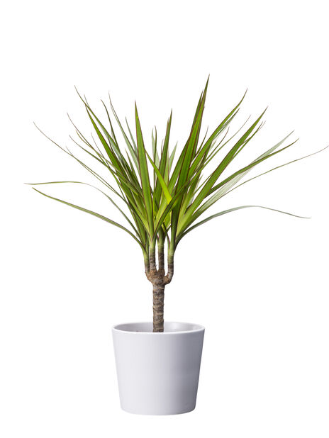 Draketre 'Marginata' 10,5 cm