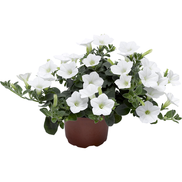 Petunia Dekko 'White', Ø12 cm, Hvit