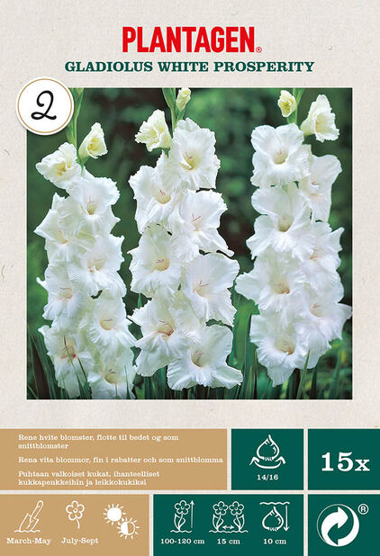 Storblomstret gladiol 'White Prosperity', Hvit