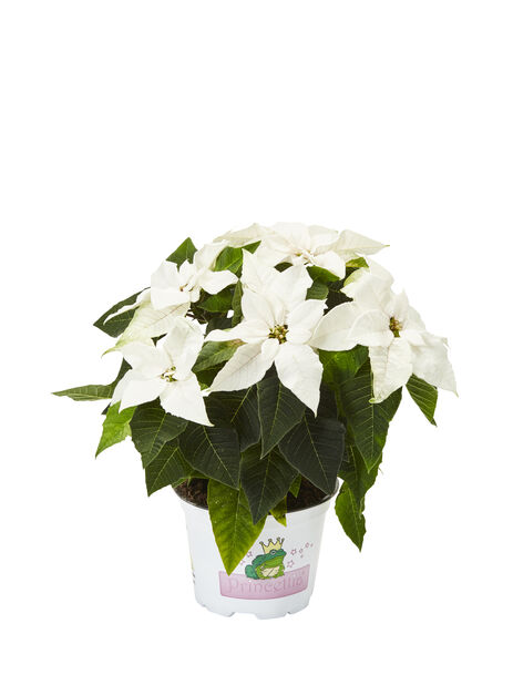 Julestjerne 'Princettia White', Høyde 30 cm, Hvit