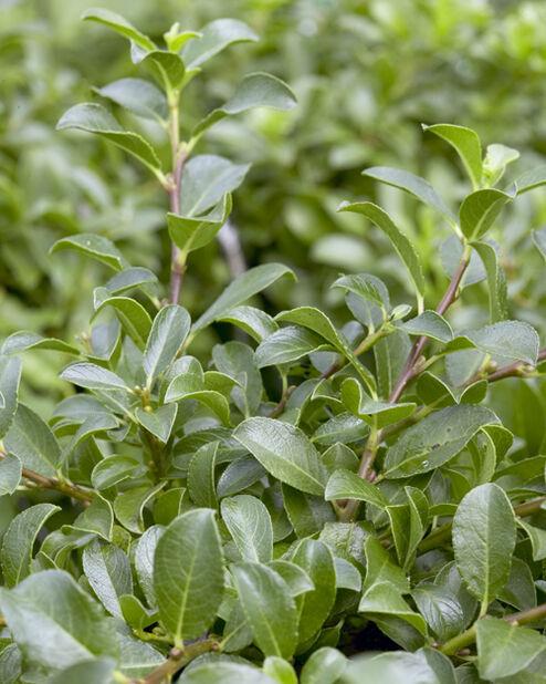 Grønnvier, Høyde 30 cm, Grønn