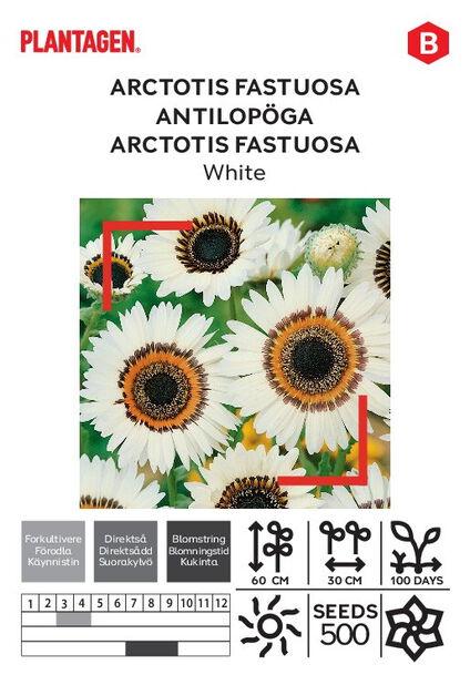 Arctotis fastuosa, hvit