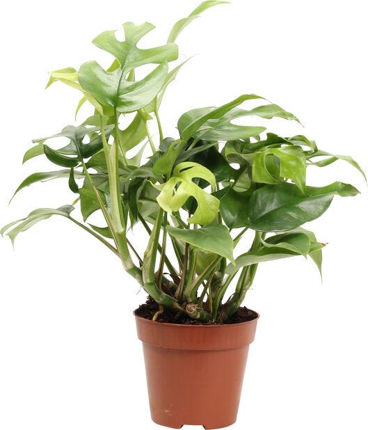 Monstera 'Minima', Høyde 30 cm, Grønn