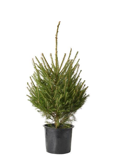 Gran i potte, Høyde 80 cm, Grønn