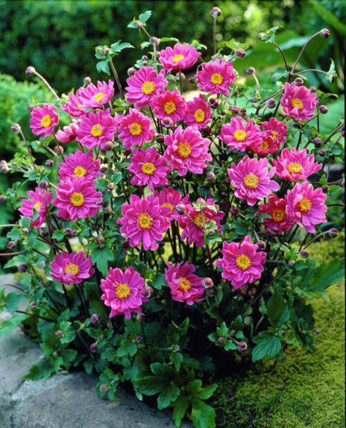 Høstsymre, Ø11 cm, Rosa