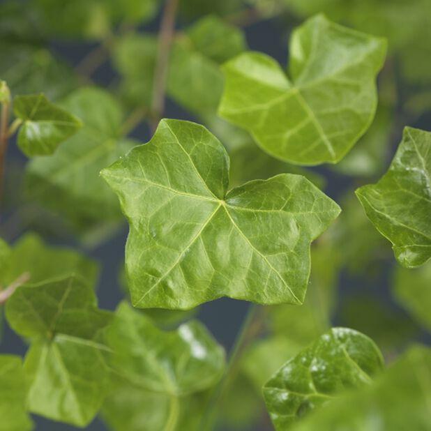 Eføy 'Hestor', Høyde 15 cm, Grønn
