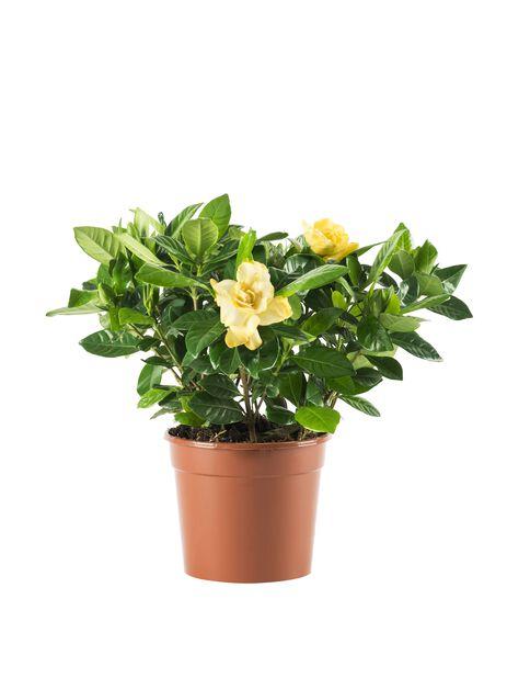 Gardenia, Høyde 30 cm, Hvit