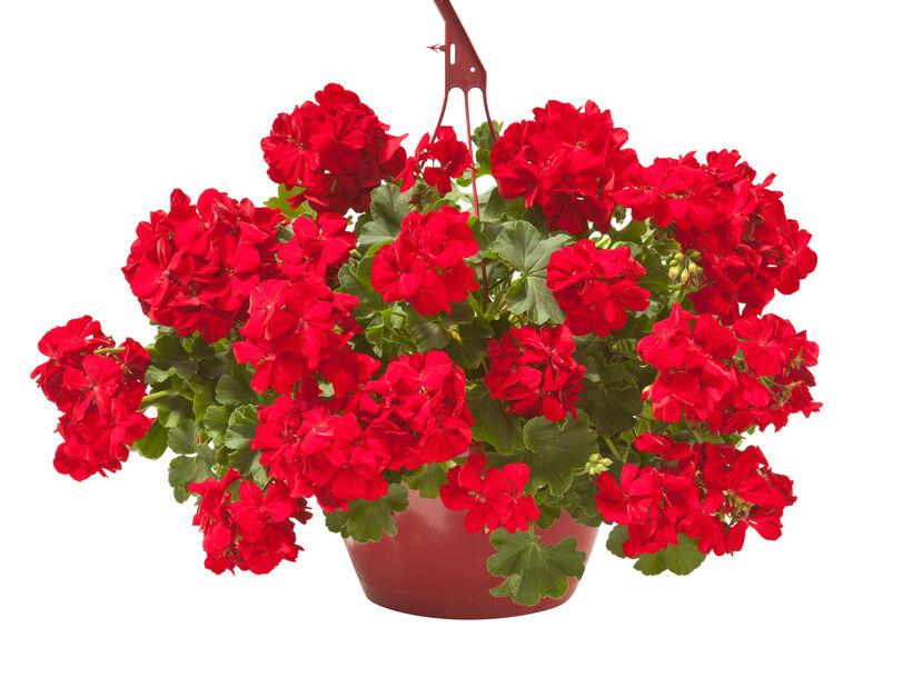 Kjærlighetspelargonia 'Dark Red' i ampel, Ø27 cm, Rød