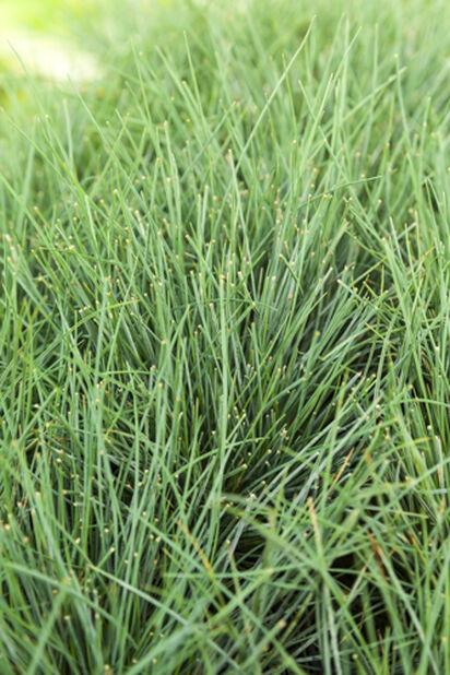 Blåsvingel 'Azurit', Høyde 30 cm, Grønn