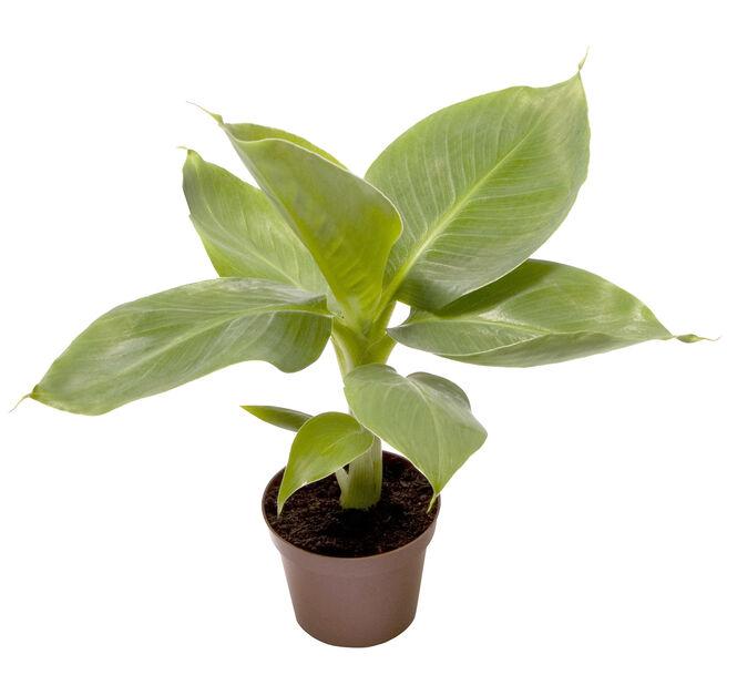 Bananplante, Høyde 10 cm, Grønn