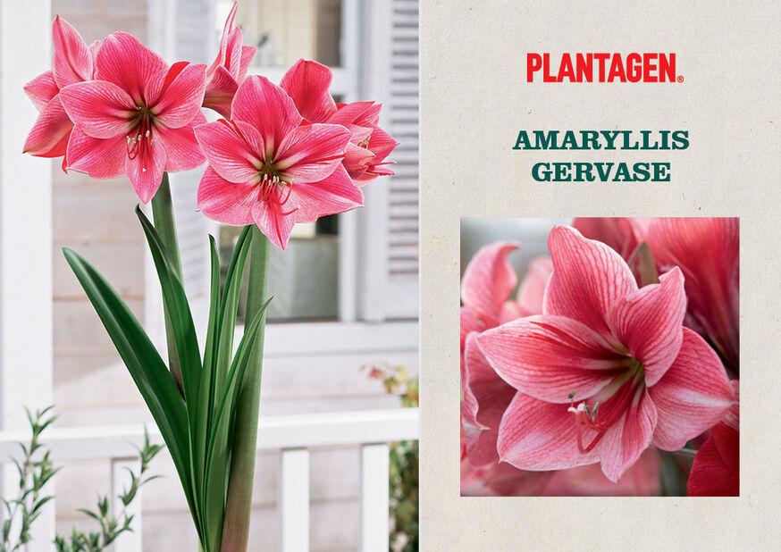 Amaryllis 'Gervase', Flerfarget