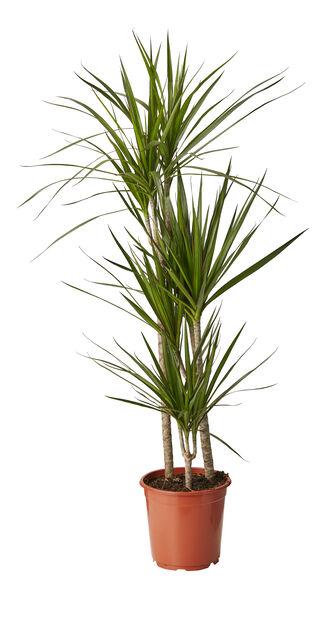 Draketre 'Marginata', Høyde 110 cm, Grønn