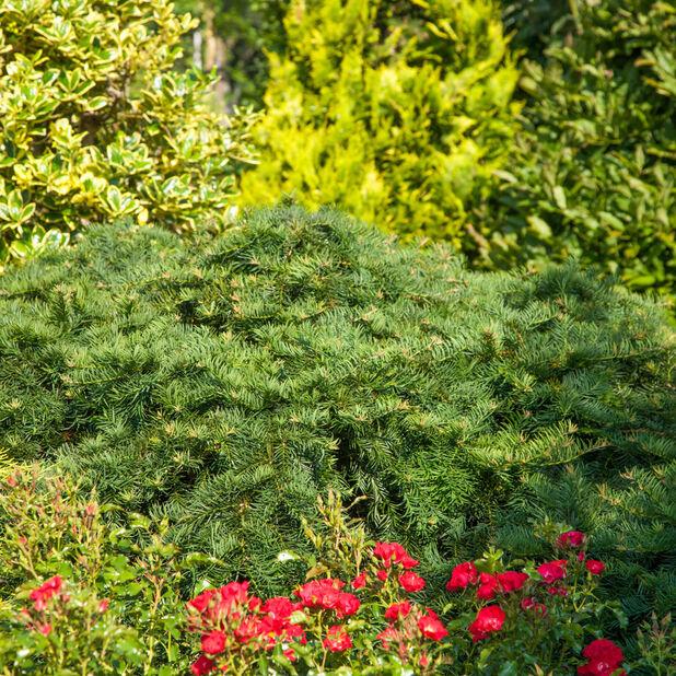 Europabarlind 'Repandens', Ø19 cm, Grønn