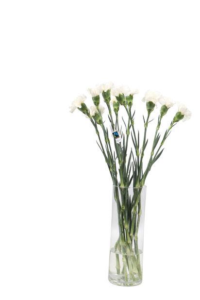 Nellik, Høyde 50 cm, Flere farger