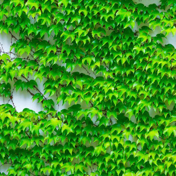 Rådhusvillvin 'Veitchii', Ø17 cm, Grønn