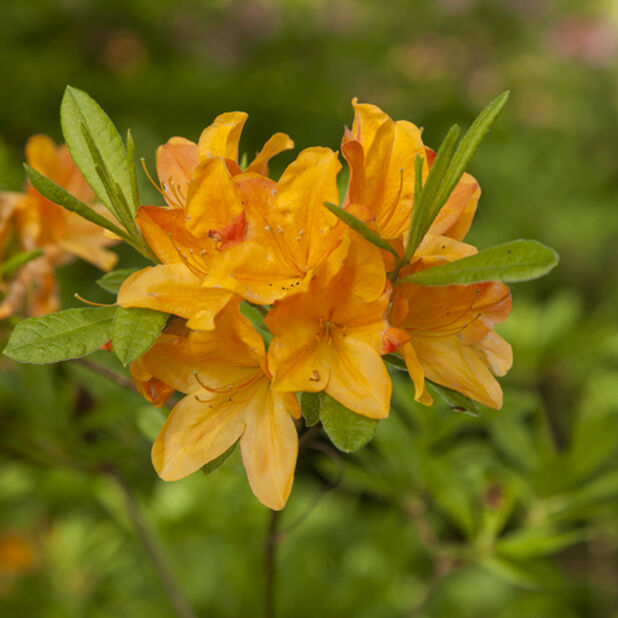 Rhododendron 'H.White', Ø23 cm, Oransje