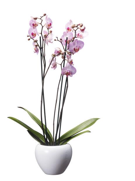 Brudeorkidé med +20 blomster, rosa