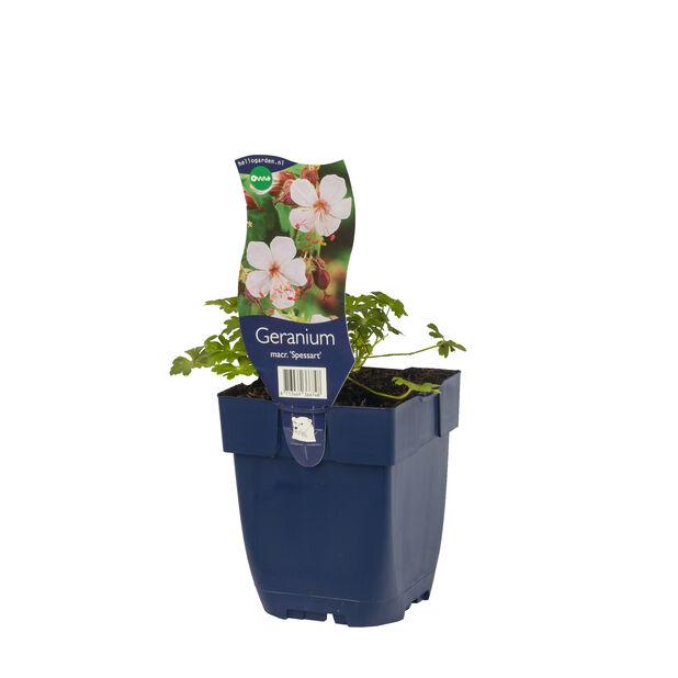 Rosestorkenebb, Høyde 15 cm, Hvit