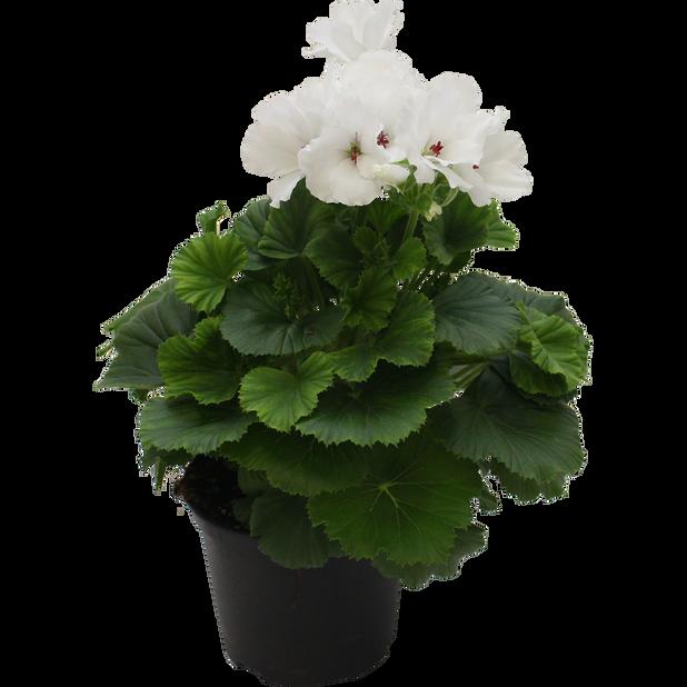 Engelsk pelargonia 12 cm Hvit