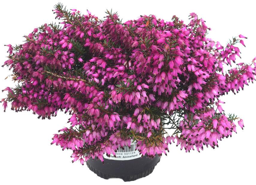 Vårlyng, Ø10.5 cm, Rød