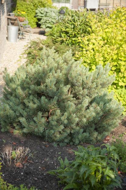Skogfuru, Høyde 25 cm, Grønn