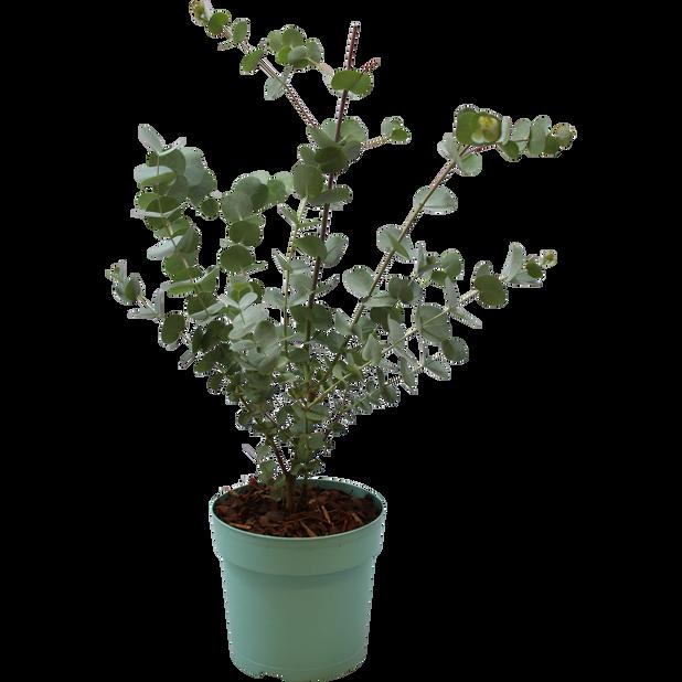 Sølveukalyptus 'Azura', Ø12 cm, Grå