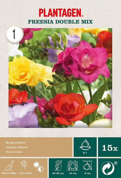 Freesia miks, fylte blomster, Flerfarget