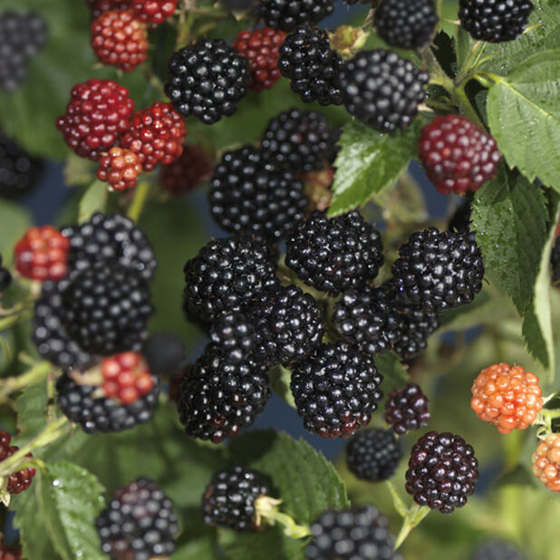 Rubus fruticosus 'Black Satin' 2L