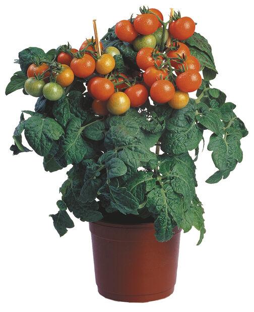 Cherrytomat, Ø14 cm, Rød