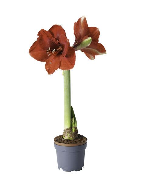 Amaryllis 1-grenet rød