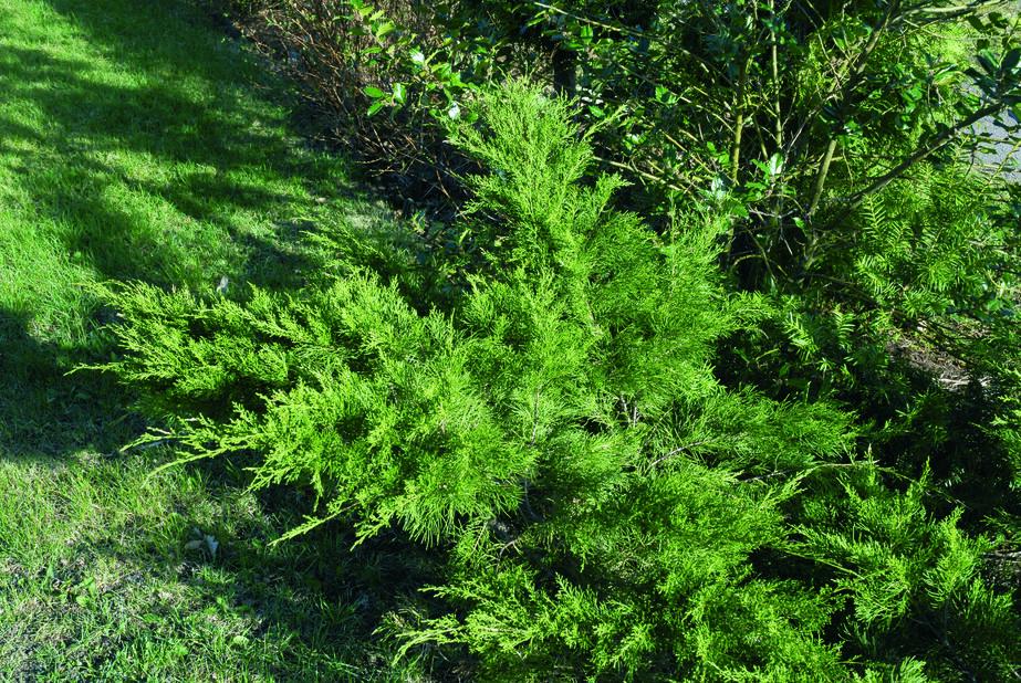 Mellomeiner 'Mint Julep', Høyde 40-50 cm, Grønn