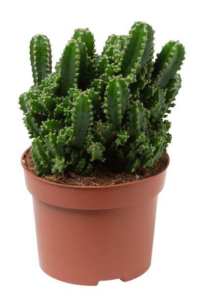 Søylekaktus, Høyde 25 cm, Grønn