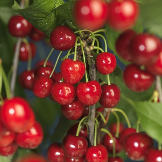 Kirsebær 'Wormdal', Høyde 160 cm, Rød