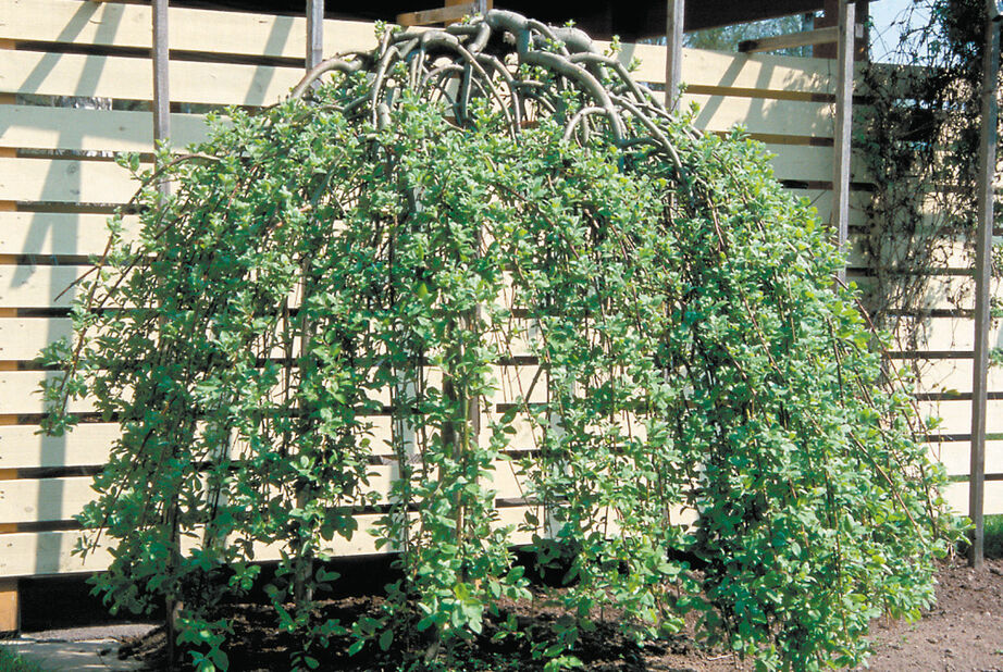 Hengeselje 'Kilmarnock' oppstammet, Høyde 50-70 cm, Grønn