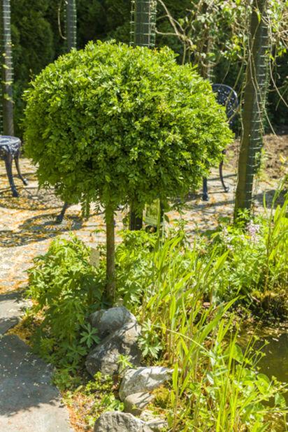 Europabuksbom på stamme