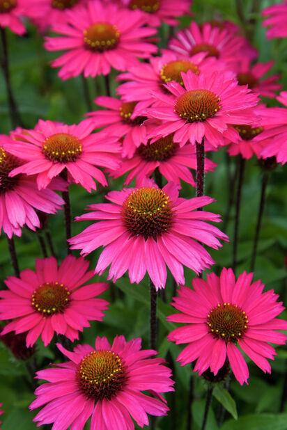 Purpursolhatt, Høyde 15 cm, Rosa