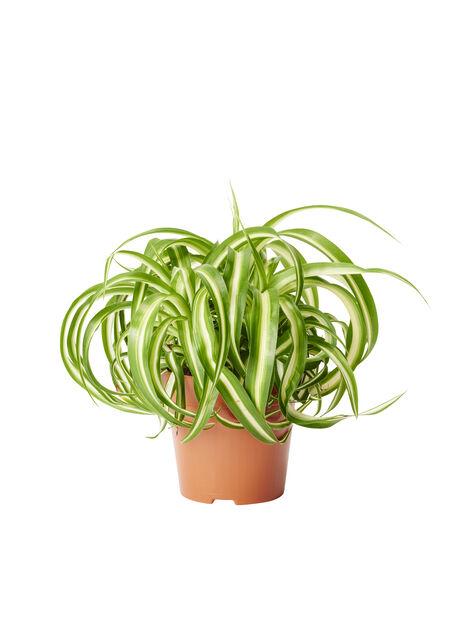 Grønnrenner 12 cm
